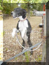 Daphne's Mantle mother is beautiful Black Great Dane - WhoopSeeDaisy- Breeder Marshfield, Missouri 65706