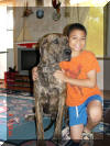 Brindle Great Dane Puppies grow into Great Dane Dogs like Tiger a Brindle Great Dane