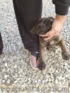 Brindle Female *NO White 6 wk AKC Great Dane
