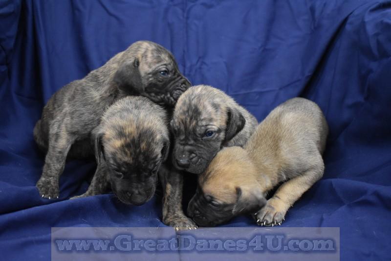 Great Dane Puppies For Sale In Springfield Marshfield Missouri