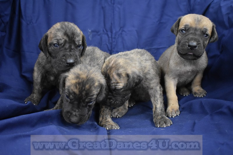 Great Dane Puppies For Sale In Springfield, Marshfield