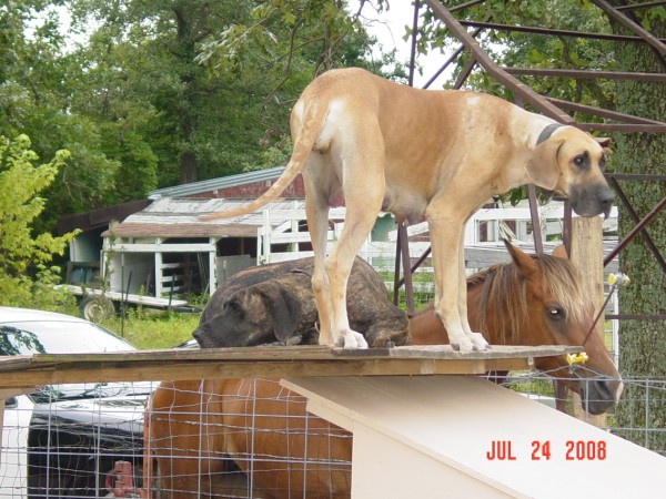 Great Dane Puppies For Sale In Springfield, Marshfield Missouri