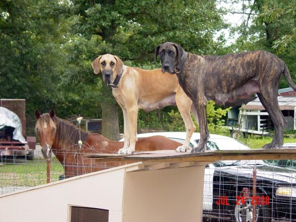 Great Dane Puppies For Sale In Springfield, Marshfield