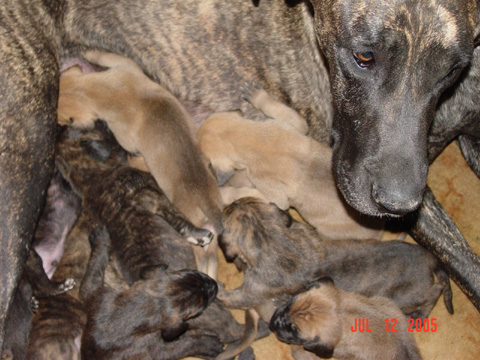Great Danes Fawn Brindle Akc Color Pure